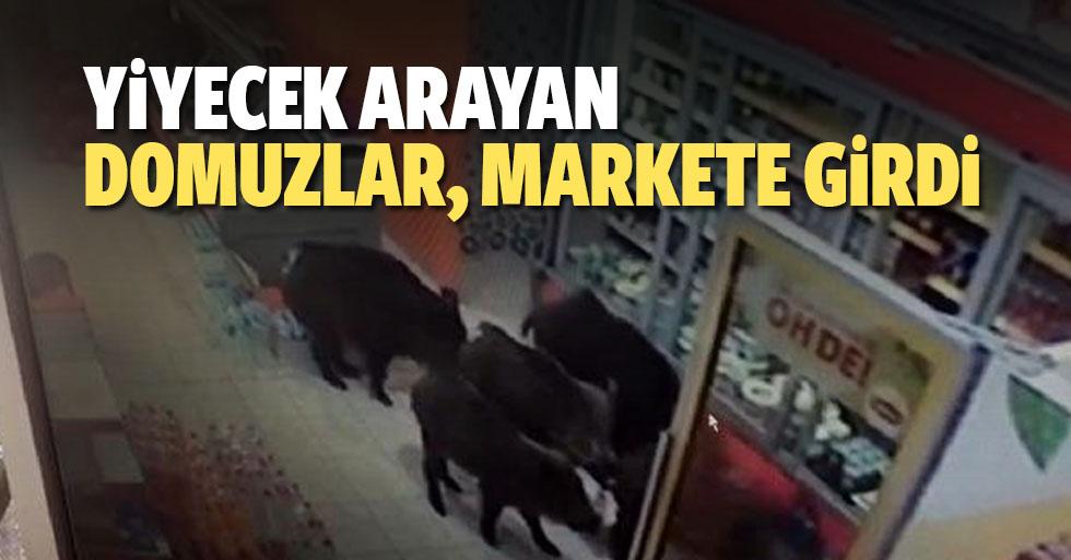 Yiyecek arayan domuzlar, markete girdi