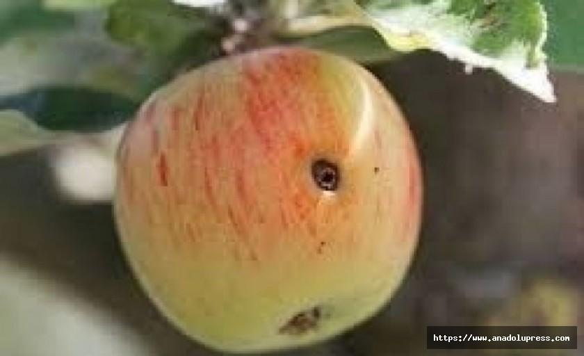 Elma İç Kurdu İçin 4. İlaçlama Zamanı Başladı
