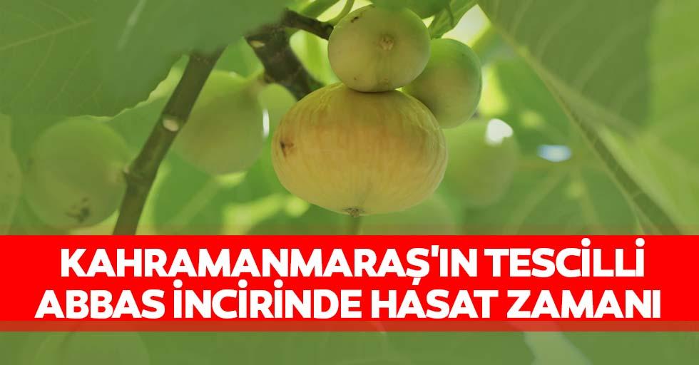 Kahramanmaraş'ın tescilli Abbas incirinde hasat zamanı