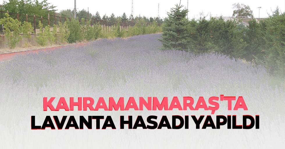 Kahramanmaraş'ta lavanta hasadı yapıldı
