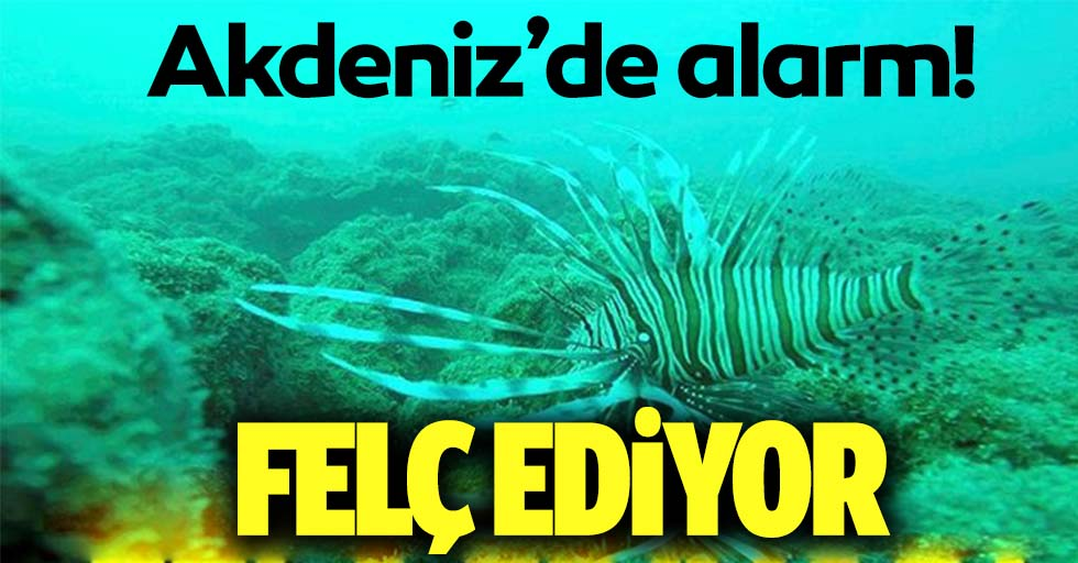 Akdeniz'de aslan balığı alarmı! Felç ediyor!