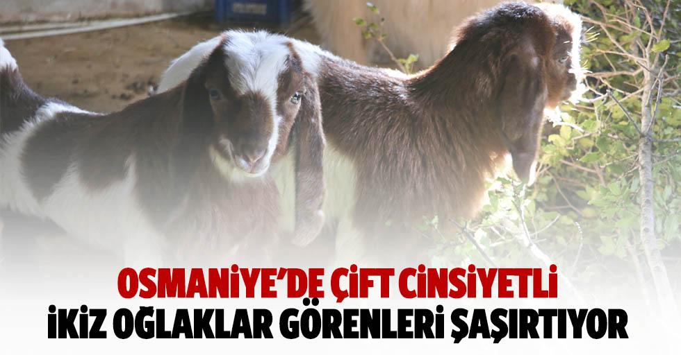 Osmaniye'de çift cinsiyetli ikiz oğlaklar görenleri şaşırtıyor
