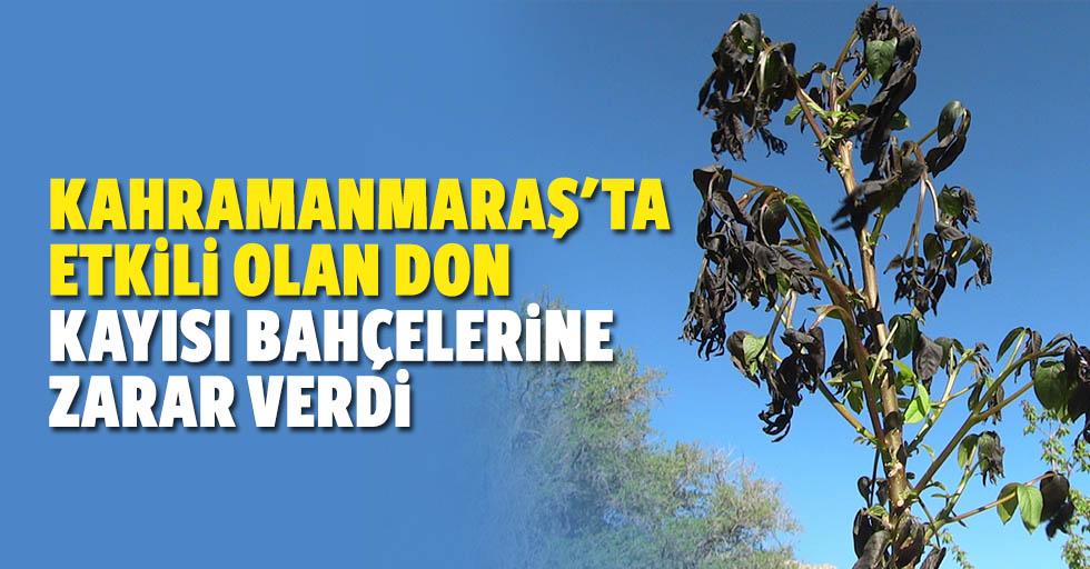 Kahramanmaraş'ta Etkili Olan Don Kayısı Bahçelerine Zarar Verdi