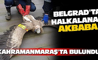 Belgrad'ta Halkalanan Akbaba Kahramanmaraş'ta Bulundu