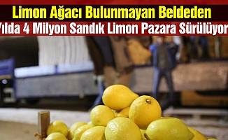 Limon Ağacı Bulunmayan Beldeden Yılda 4 Milyon Sandık Limon Pazara Sürülüyor