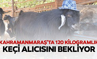 Kahramanmaraş'ta 120 kilogramlık keçi alıcısını bekliyor