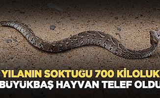Yılanın soktuğu 700 kiloluk büyükbaş hayvan telef oldu