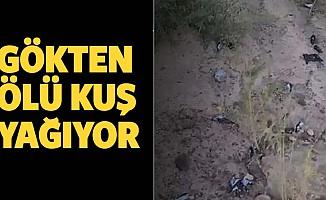 Ölü kuşlar gökten yağıyor...Yüz binleri buldu
