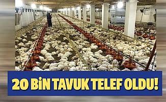 20 bin tavuk telef oldu!