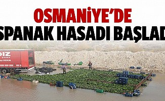 Osmaniye'de Ispanak Hasadı Başladı