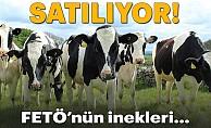 """""""FETÖ'nün inekleri"""" satılıyor"""
